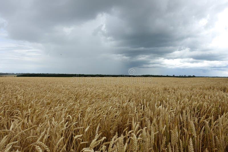 成熟麦子在领域背景中 库存照片