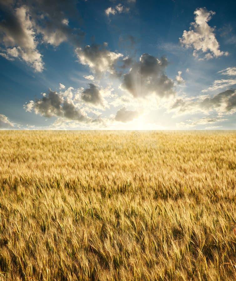 成熟麦子的领域在背景日出的在蓝天 免版税库存照片