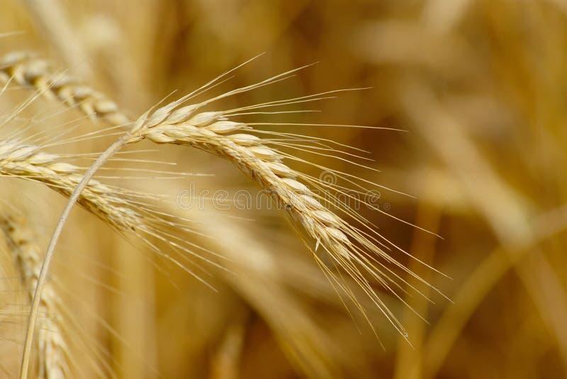 成熟麦子耳朵 免版税图库摄影