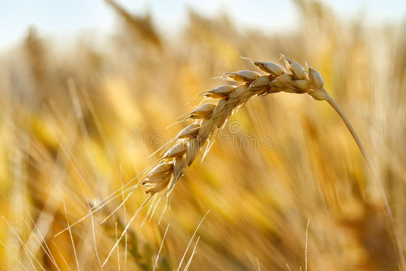 成熟麦子 免版税库存图片
