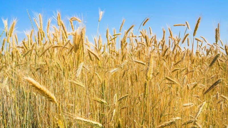 成熟黑麦在领域的蓝天下在巴伐利亚 免版税库存图片