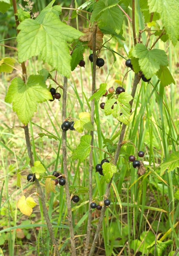 成熟黑醋栗莓果生长接近  免版税库存图片