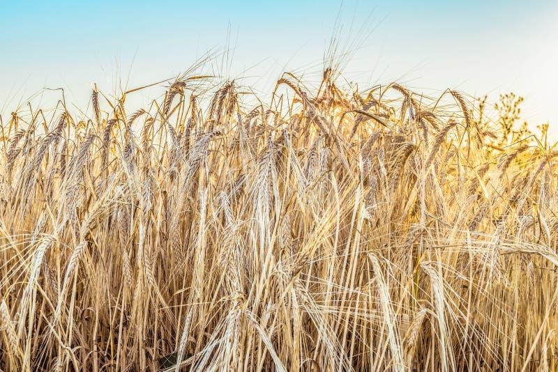 成熟黑麦耳朵在一个晴朗的领域关闭  免版税库存照片