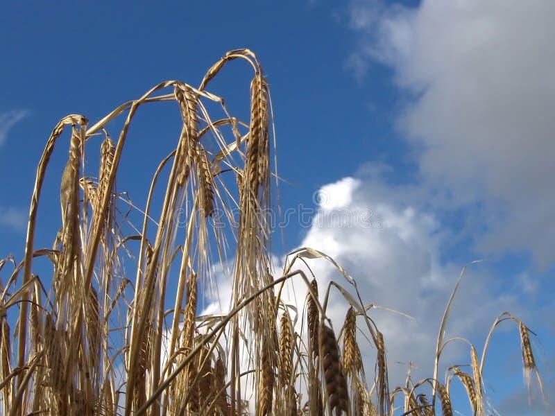 Download 成熟 库存照片. 图片 包括有 问题的, 自治权, 成熟, 天空, 丰富的, 谷物, 收获, 眼镜, 生长, 秋天 - 59748