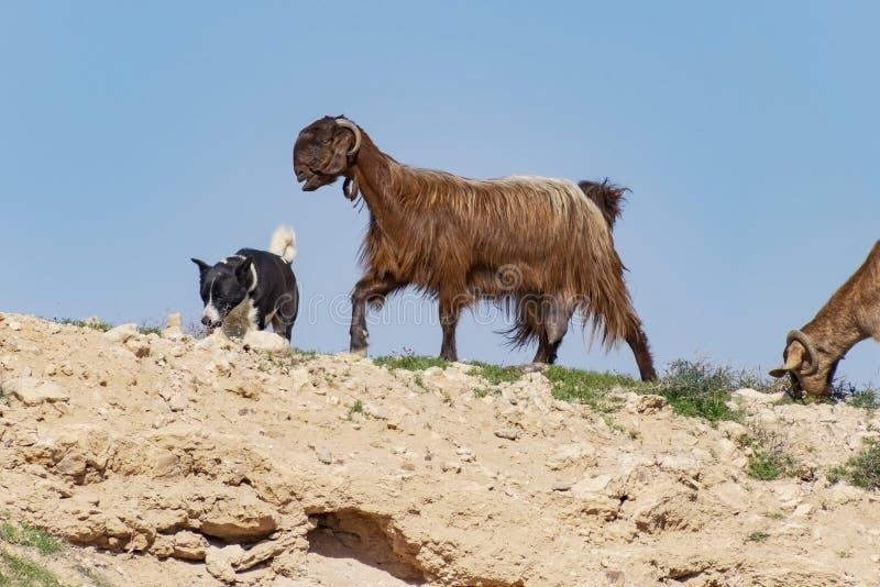 成群在内盖夫的迦南狗流浪的山羊 库存图片