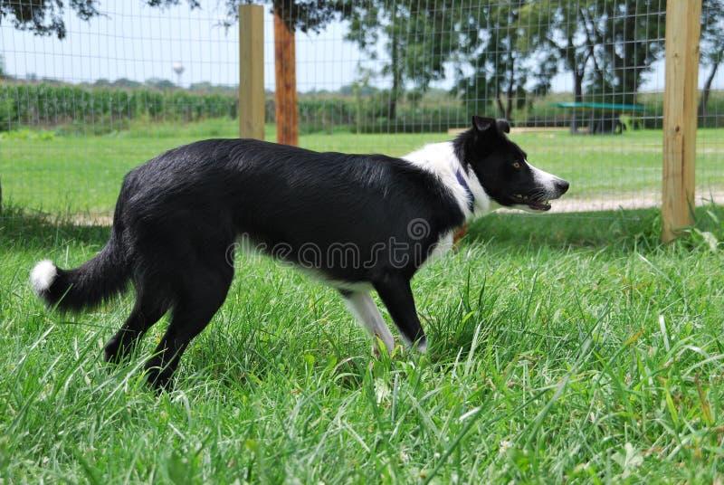 成群在篱芭里面的博德牧羊犬 免版税图库摄影