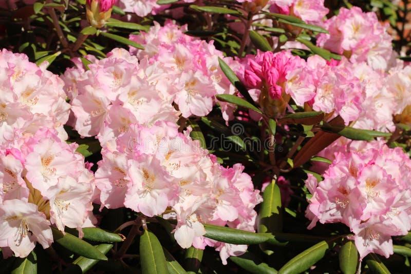 成群的桃红色花 库存图片