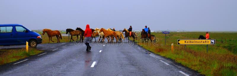 成群的马-带领马的牧群横跨路,Snæfellsnes半岛,冰岛7月2017年,南海岸的农夫  免版税库存图片