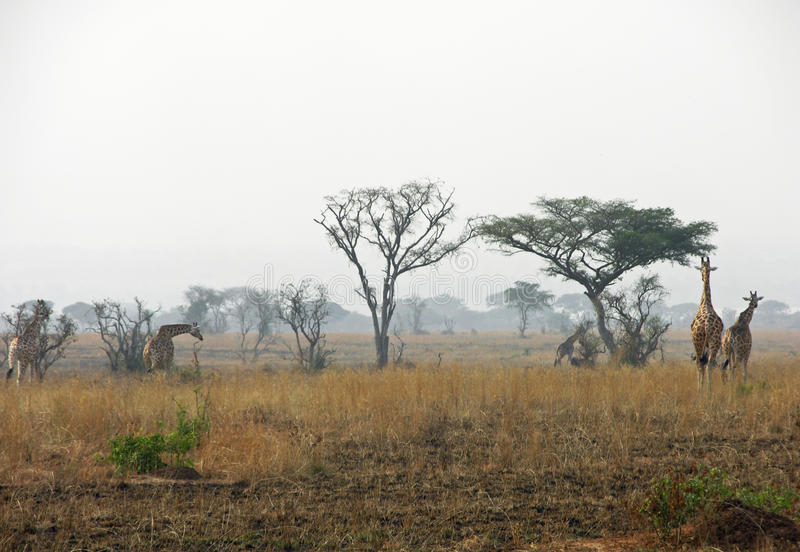 成群走通过干燥炎热的平原的长颈鹿在灌木火非洲以后 库存照片