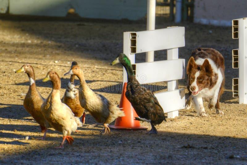成群鸭子的狗 库存照片