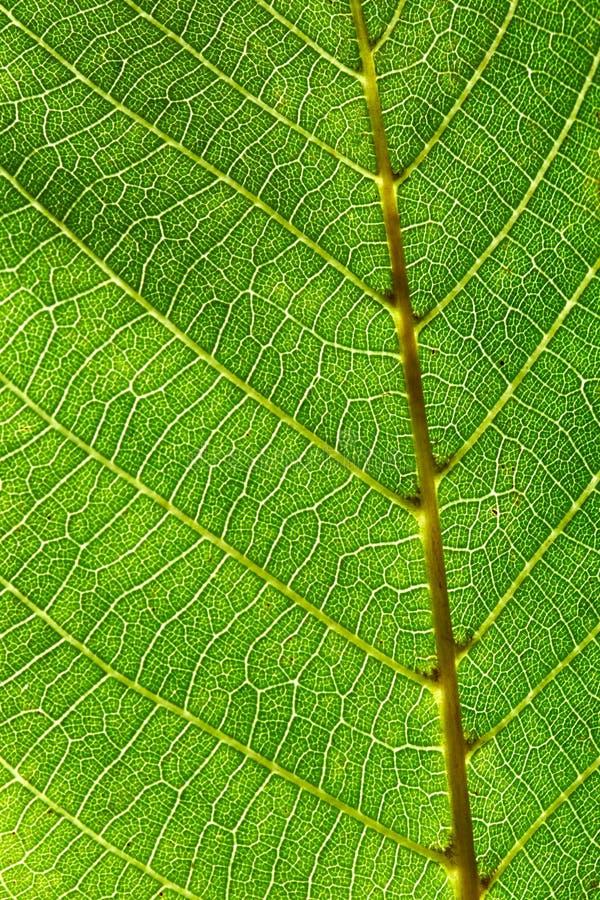 成脉络的绿色叶子样式宏观照片  布局的自然美好的背景 库存图片