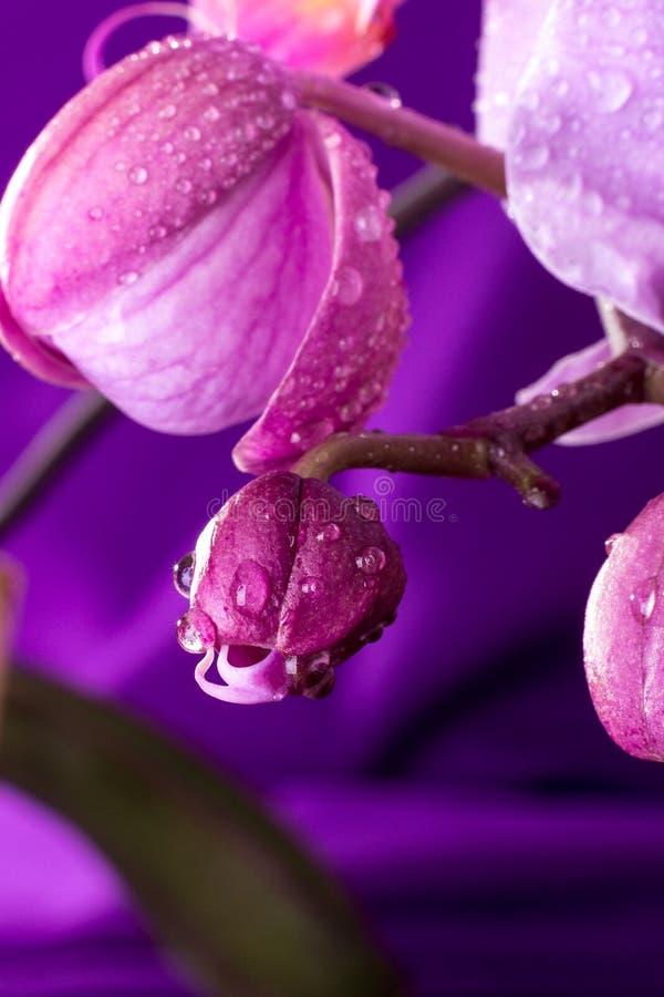 成长与水下落的兰花在紫色背景 宏指令 关闭 免版税库存图片