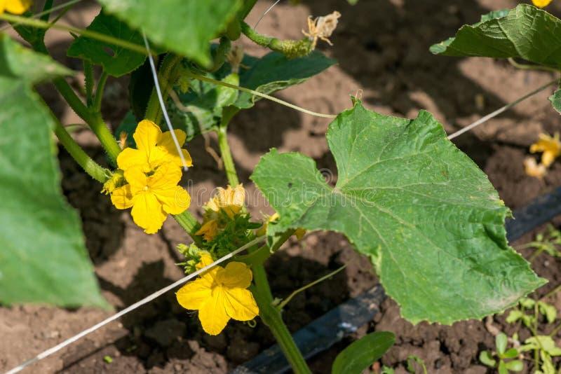 成长和开花庭院黄瓜 库存照片