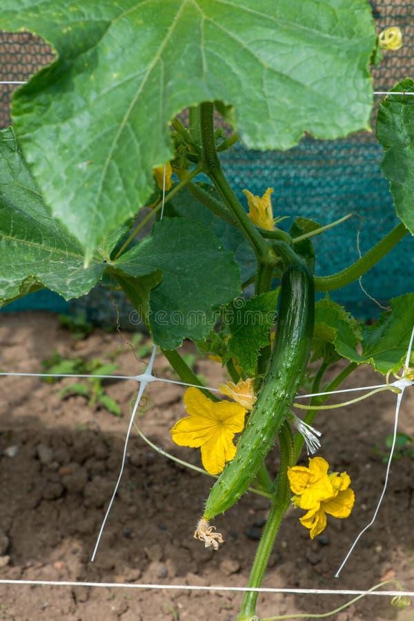 成长和开花庭院黄瓜 免版税库存照片