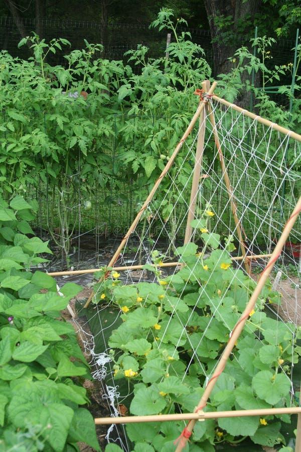 成长的标志在初夏菜园 库存图片