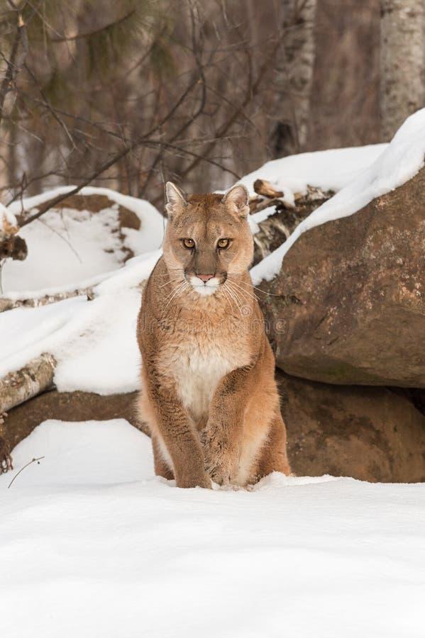 成年女性美洲狮美洲狮concolor从雪举爪子 免版税库存图片