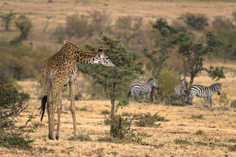 成年女性马塞人长颈鹿 库存图片