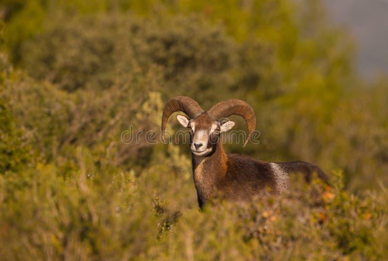 成年男性Mouflon 库存图片