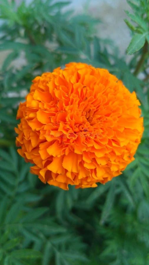 我在绿色我的领域的美丽的花橙色和 图库摄影