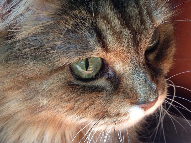 我家的喜爱的西伯利亚猫 免版税库存照片