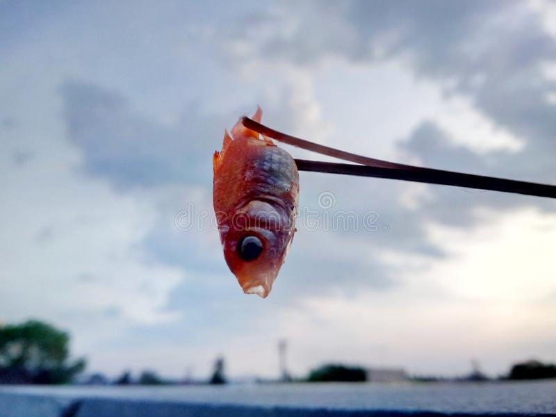 我死的金鱼 库存照片