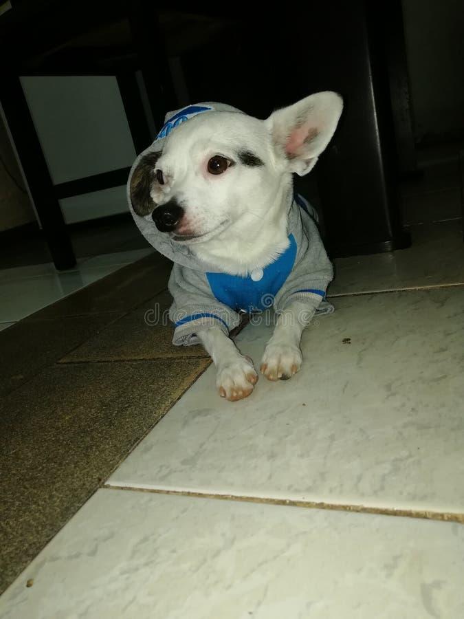 我的小犬座 库存照片