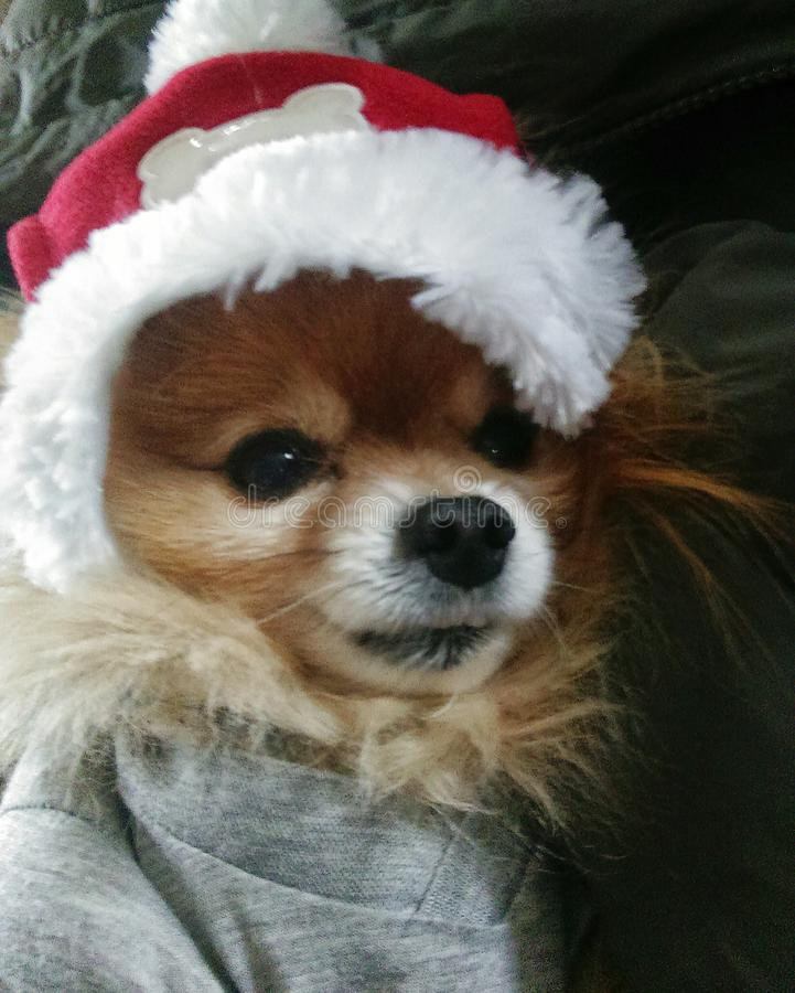 我的小Pomeranian圣诞老人 库存照片