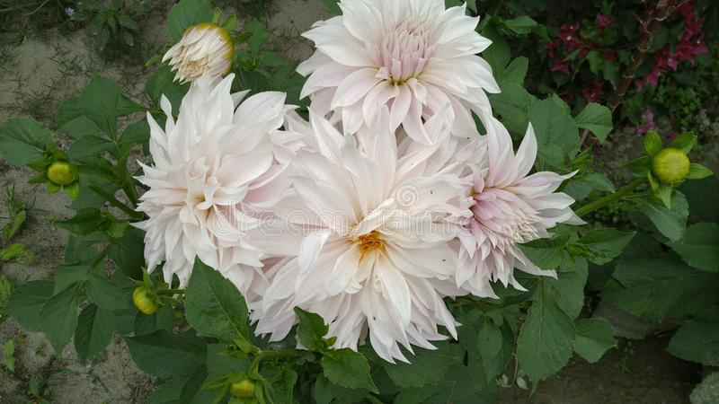 我的庭院Daliya花  库存照片