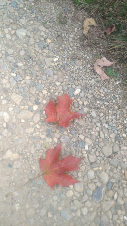 我车道上有2条漂亮的红色小叶 免版税库存图片