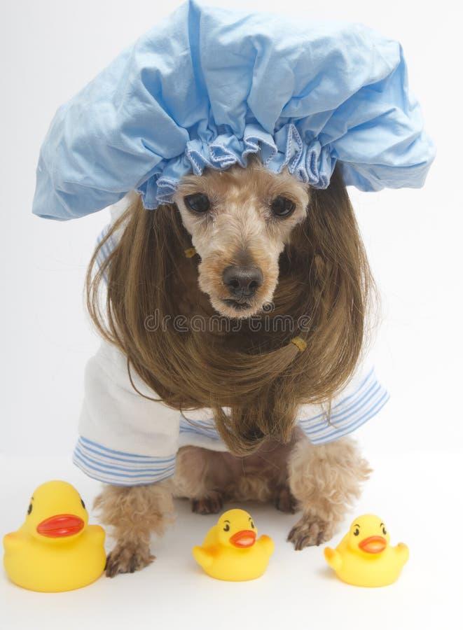 图片 包括有 修改, 长卷毛狗, 人们, 乐趣, 盖帽, 魅力, 查出, 发型图片