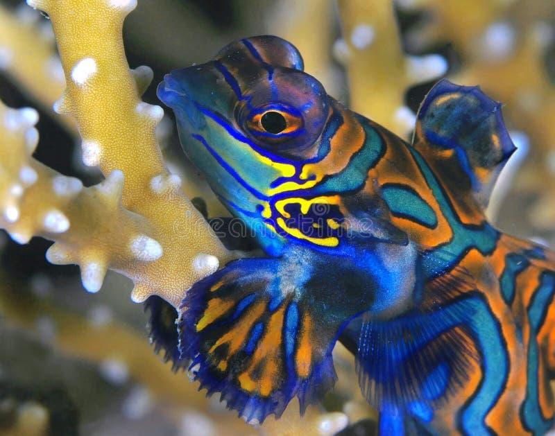 我mandarinfish 库存照片