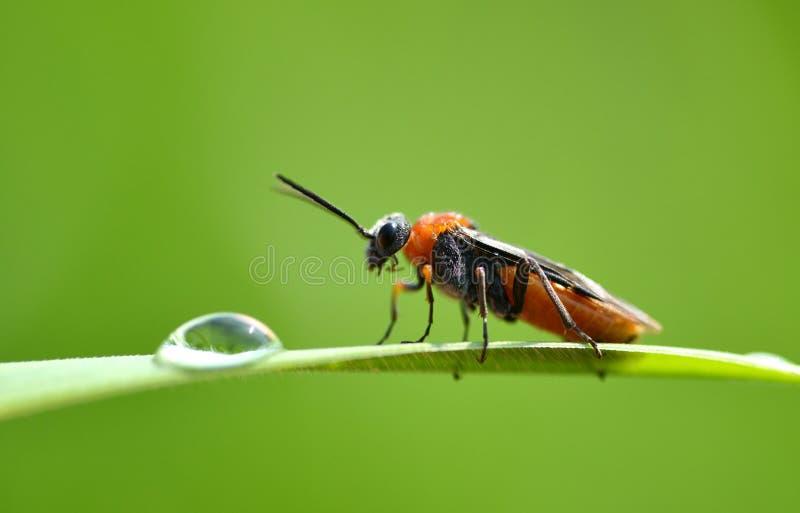 战士甲虫在绿草的Cantharis rustica与露滴 免版税库存图片