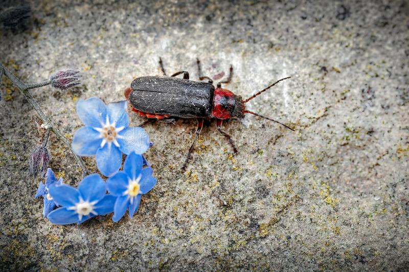 战士甲虫,涌现从勿忘草花的Cantharis rustica对石头 免版税图库摄影