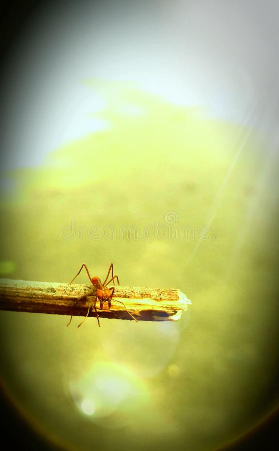 战士蚂蚁 免版税库存图片