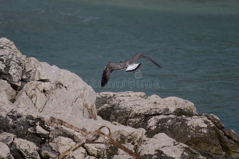 战斗与风的共同的鸥或鸥属canus 免版税库存照片