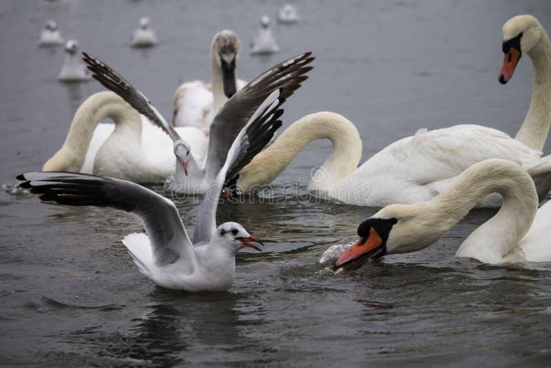 战斗为食物的天鹅和鸥 免版税图库摄影