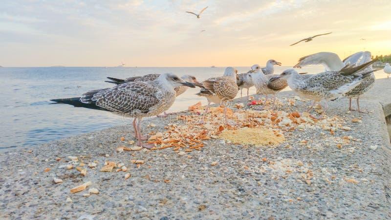 战斗为食物的饥饿的海鸥 免版税库存图片