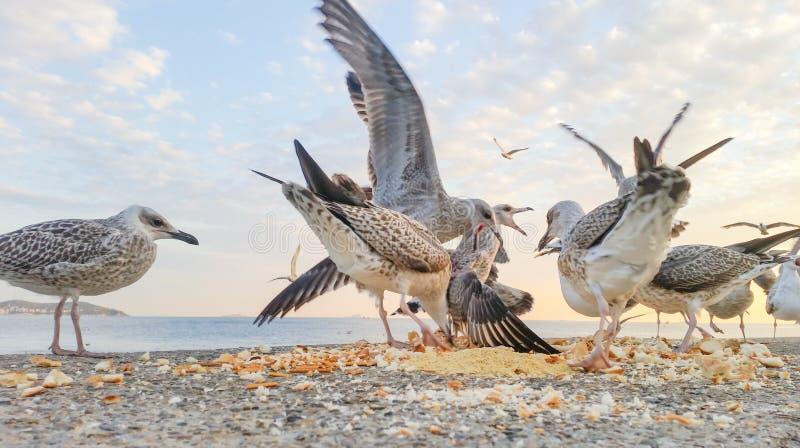 战斗为食物的饥饿的海鸥 库存图片