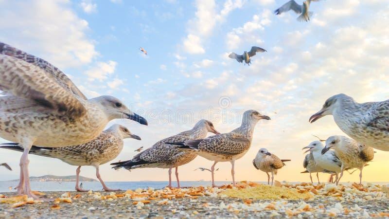 战斗为食物的饥饿的海鸥 免版税图库摄影