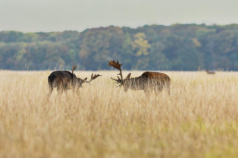 战斗在交配季节的小鹿大型装配架 库存图片