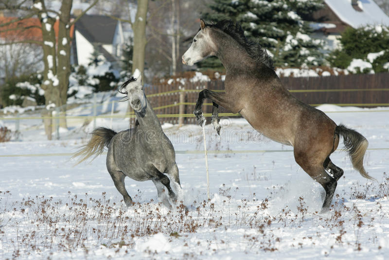 战斗在冬天的两匹公马 免版税库存图片