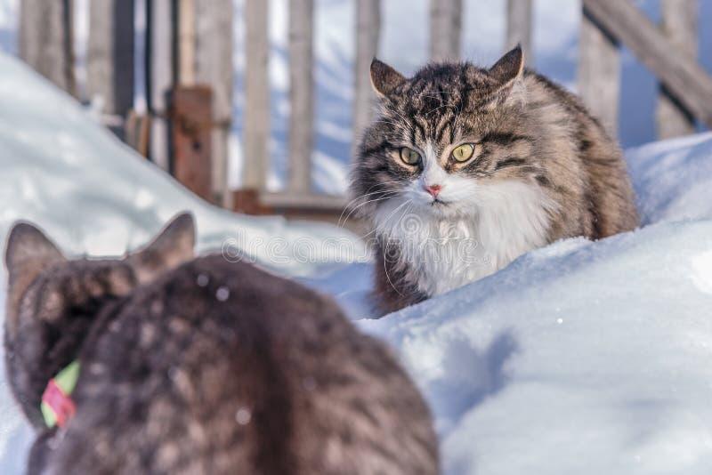 战斗在多雪的街道上的两只猫 库存照片