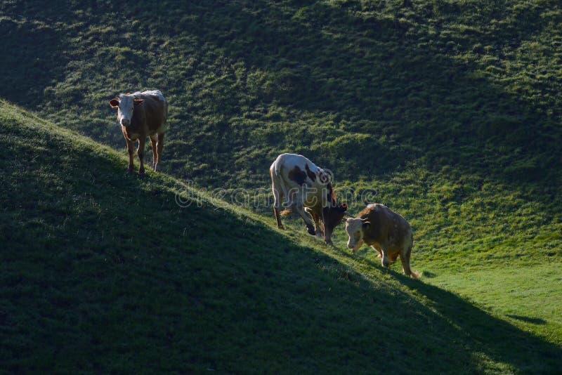 战斗在山的母牛 免版税库存图片