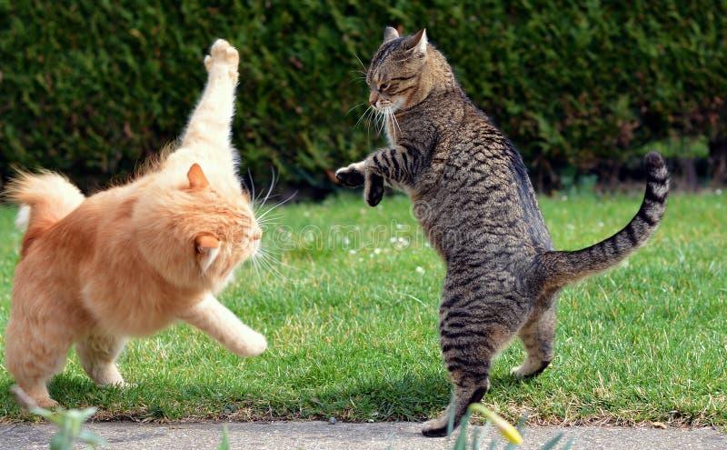 战斗在庭院的两只猫 库存照片