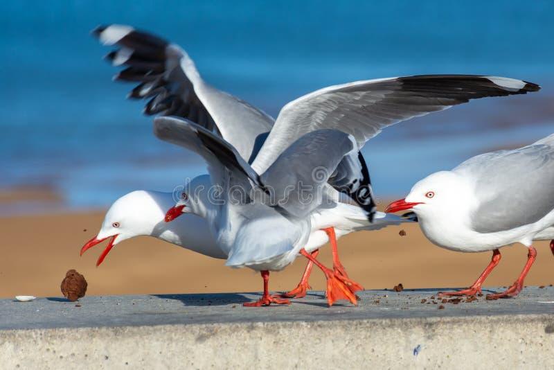 战斗在果仁巧克力的海鸥 窃取食物的海鸥在阿贝尔・塔斯曼国立公园 库存图片
