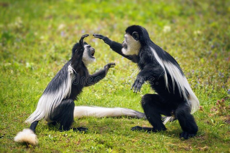 战斗在草的两只被覆盖的guereza猴子 库存照片