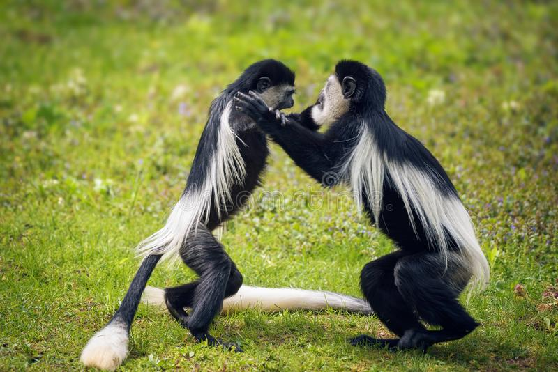 战斗在草的两只被覆盖的guereza猴子 库存图片