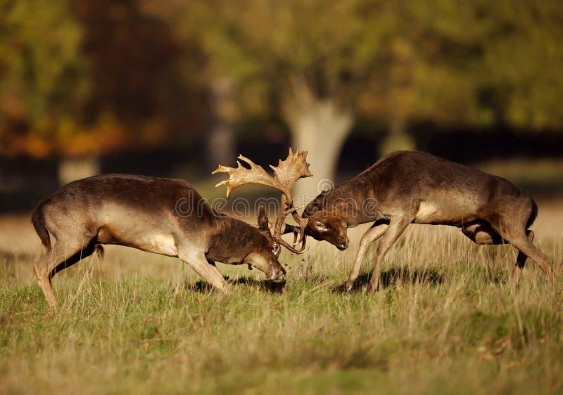 战斗在车轮痕迹期间的两头公小鹿 免版税库存图片