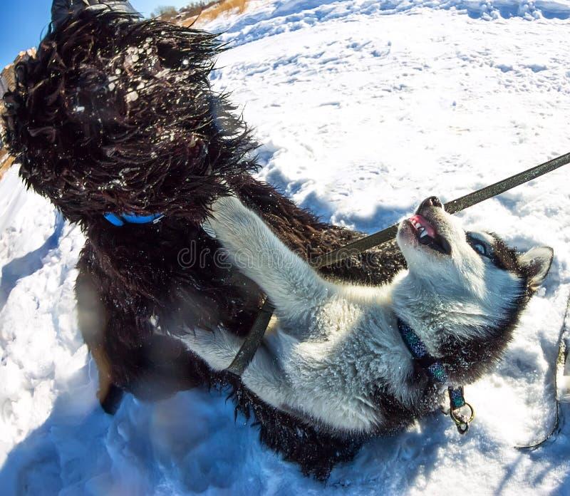 战斗在雪的年轻多壳和黑俄国狗戏剧 免版税库存图片