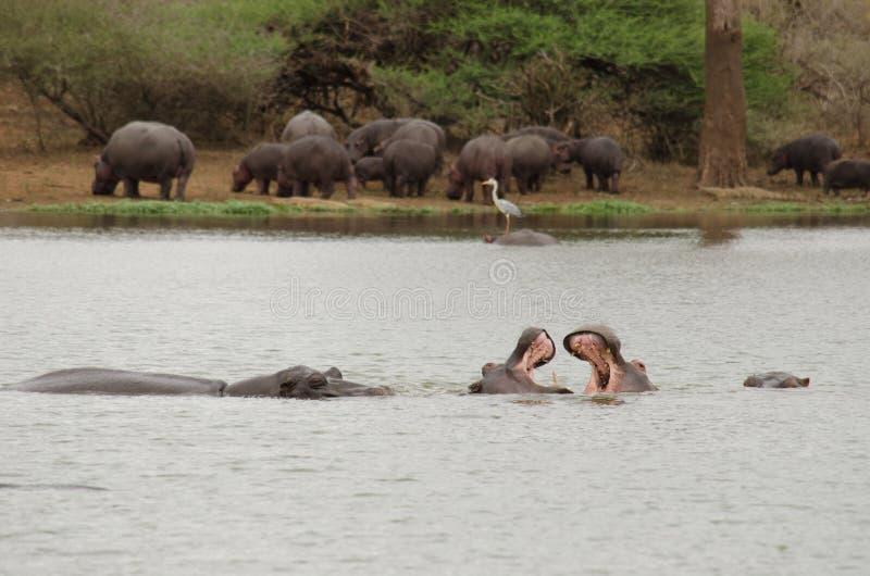 战斗在水池的河马 库存图片